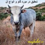تحقیق در مورد گاو